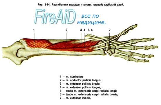 Мышцы задней области предплечья