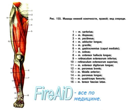 Анатомия мышц бедра и голени спереди