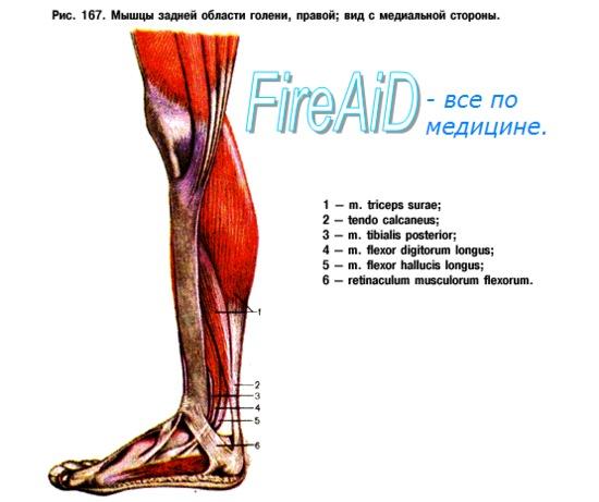 Анатомия : Мышцы голени. Задняя группа мышц голени.