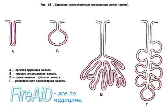 Секреторная функция пищеварительной системы. Секреция. Секрет пищеварительных желез.