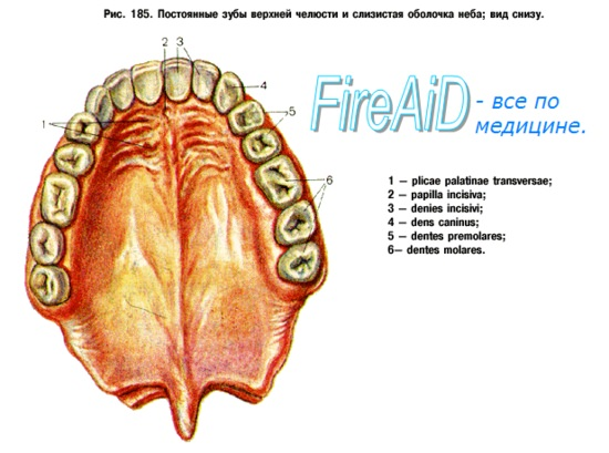 Анатомия : Зубы. Малые коренные зубы. Большие коренные зубы.