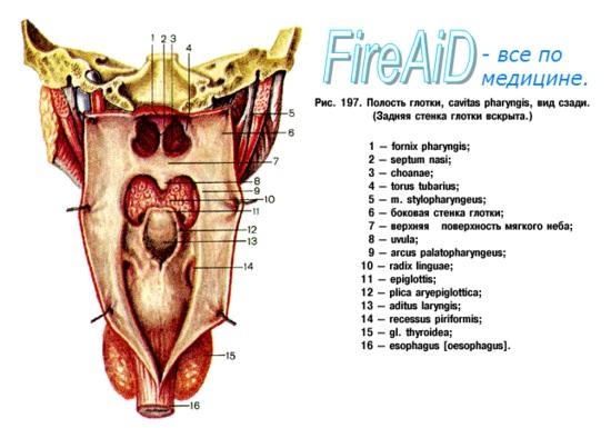 Анатомия : Глотка. Строение