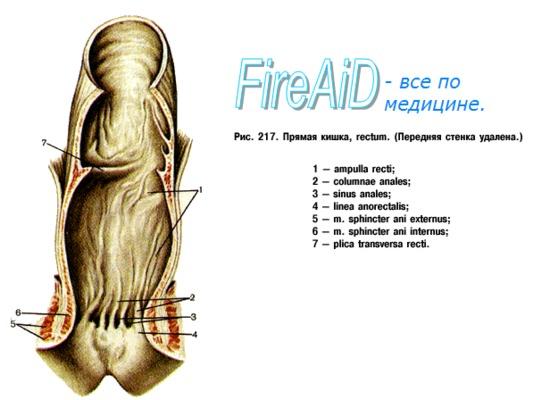Анатомия человека: Прямая кишка. Топография прямой кишки ...