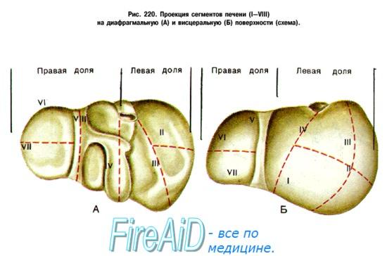 Анатомия человека: Строение печени. Желчный пузырь. Анатомия ...