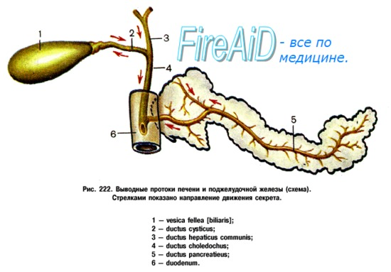 Пищеварение в двенадцатиперстной кишке. Пищеварительные функции поджелудочной железы.