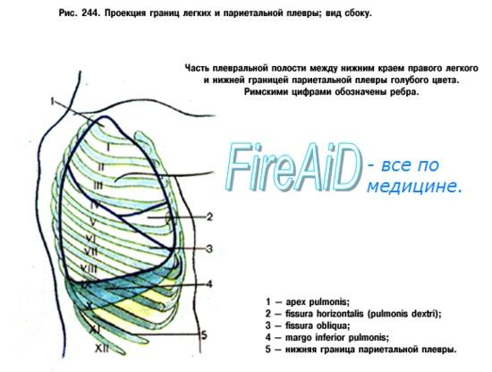 Плевральна порожнина (плевральні мішки). Межі плевральної порожнини (порожнин).