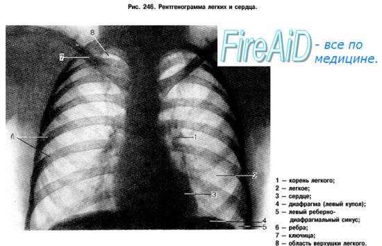 Анатомия человека: Дыхательная