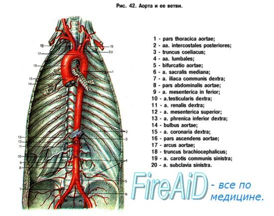 Кровообращение в легких. Кровоснабжение легких. Сосуды и нервы легких.