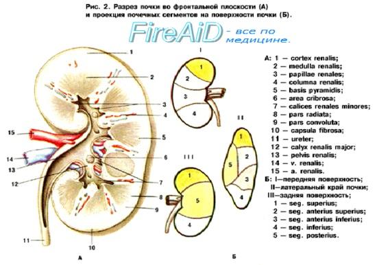 Анатомия : Почечная лоханка. Почечные чашки.