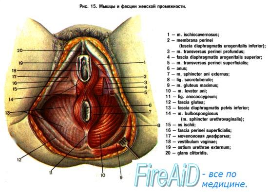 анатомия интимных мышц