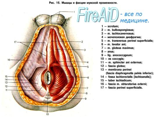 Мышцы мочеполовой диафрагмы.