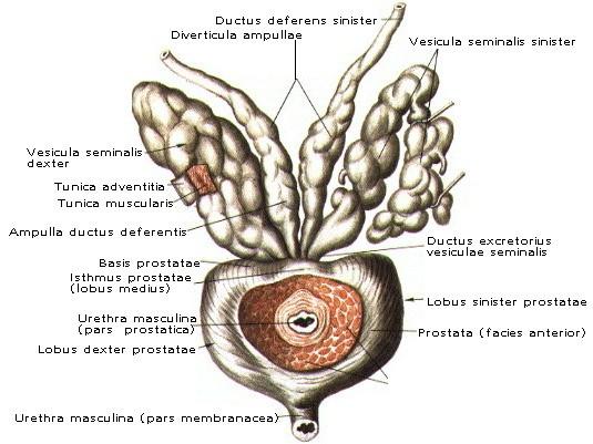 Анатомия : Бульбоуретральные железы. Предстательная железа ...