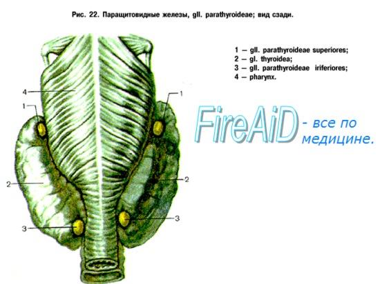 физиология околощитовидных желез