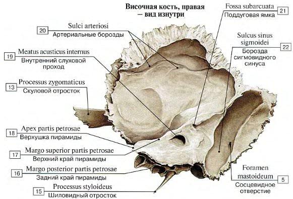 Анатомия височной кости