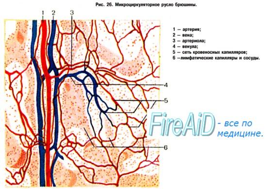 Кровеносная система.