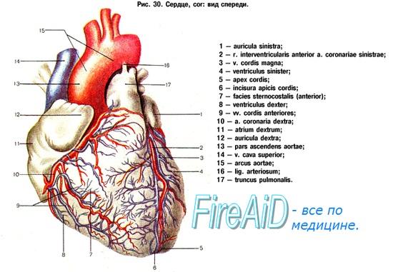 Венечные артерии сердца.