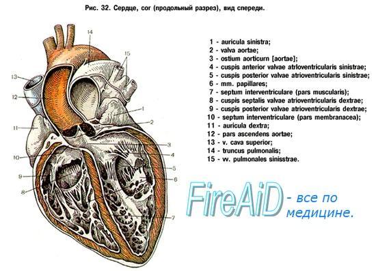 Анатомия: Камеры сердца. Правое предсердие. Левое предсердие.