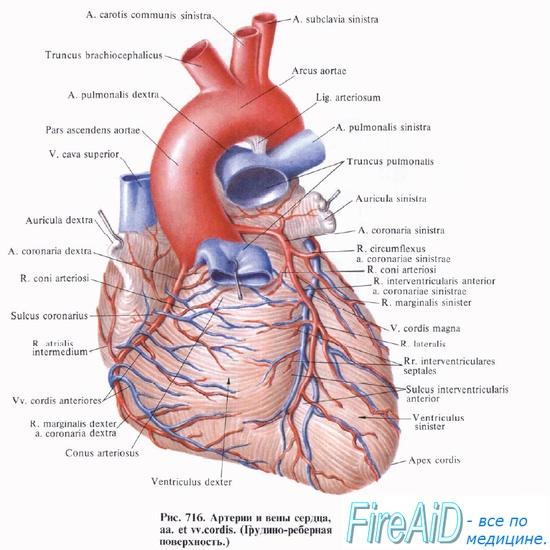 Анатомия: Вены сердца. Лимфатическая система сердца.