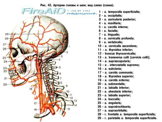 Внутренняя сонная артерия схема фото 762