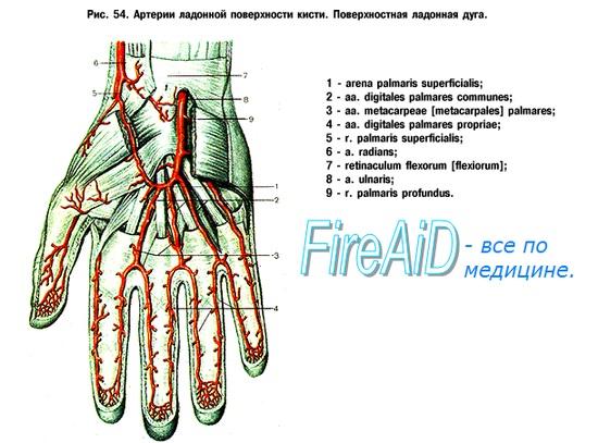 Анатомия артерий кровоснабжающих кисть