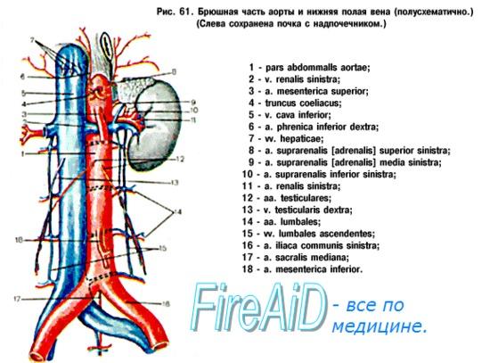 Анатомия: Парные висцеральные ветви: почечная артерия (a. renalis ...