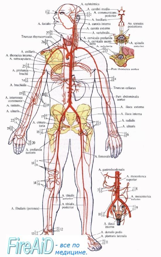 коллатеральное кровообращение
