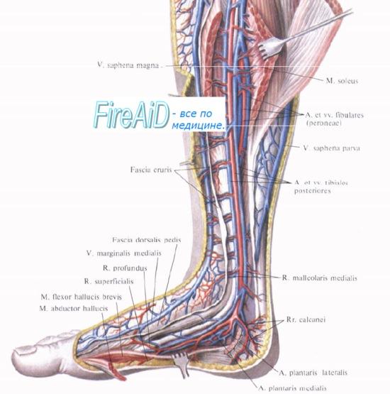 Анатомия: Вены нижней конечности ( ноги ). Глубокие и ...