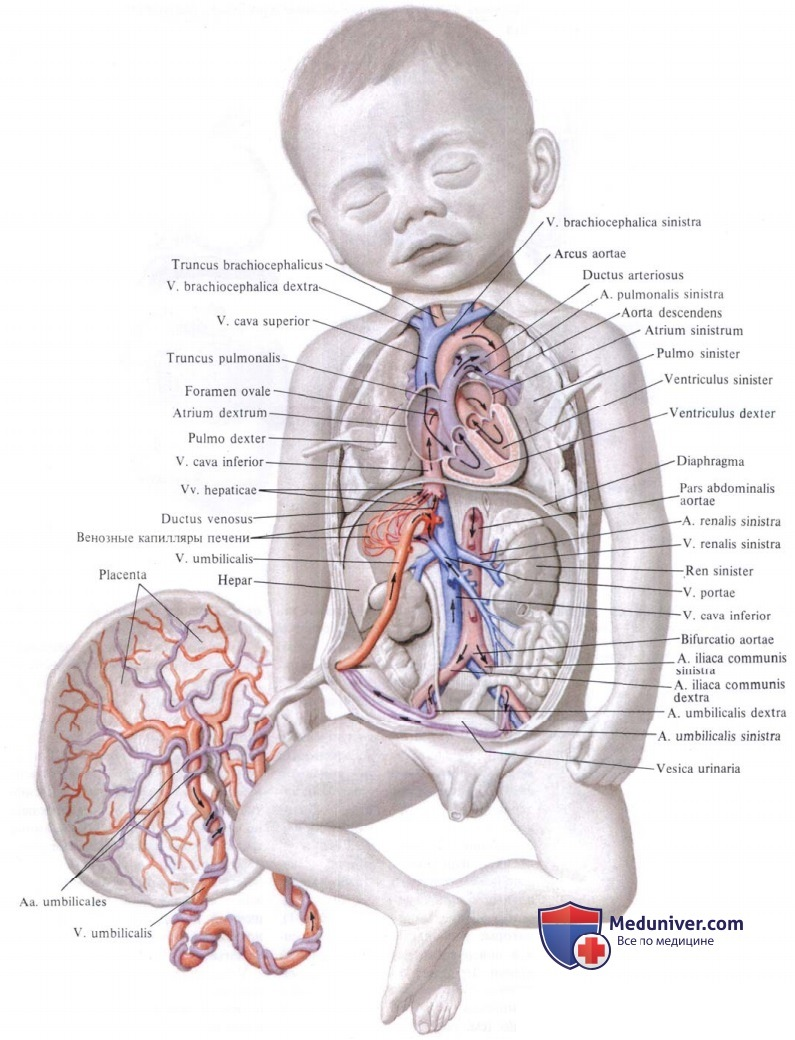 Плацентарное кровообращение.