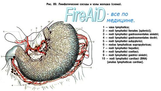 Лимфатические узлы. Функции лимфатических узлов. Лимфоток.