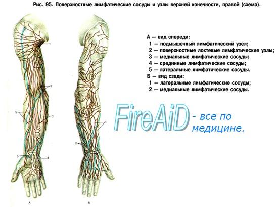 Лимфоузлы верхней конечности - руки