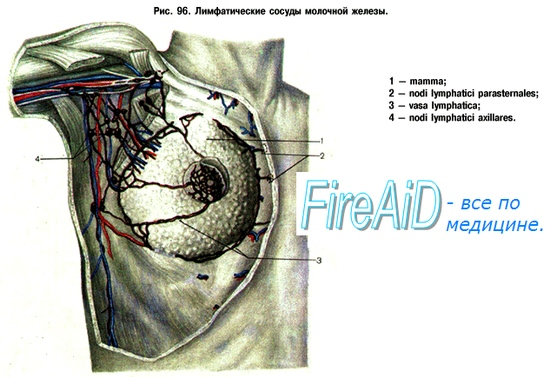 Лимфатические узлы и сосуды