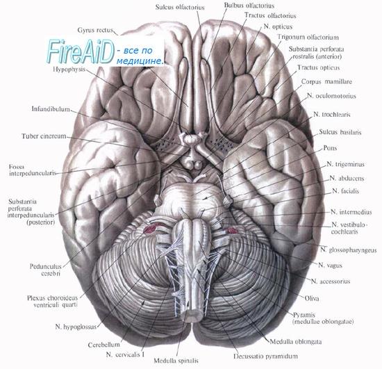 Центральный отдел обонятельной системы. Обонятельные нервы. Латеральный обонятельный тракт.