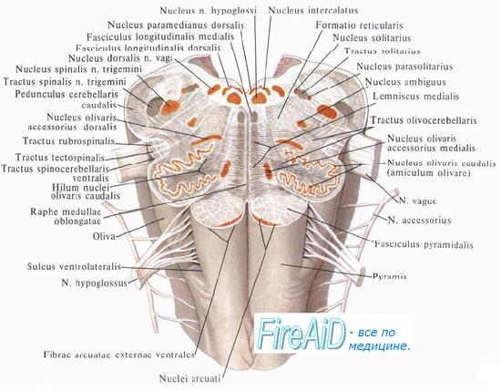 Анатомия: Белое вещество
