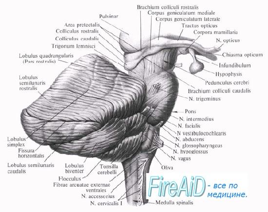 анатомия мозжечка и моста мозга