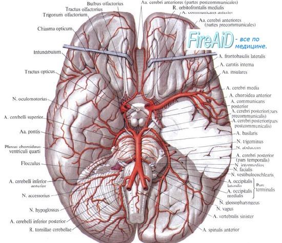 Кровоснабжение головного мозга. Интенсивность кровотока в сосудах мозга.