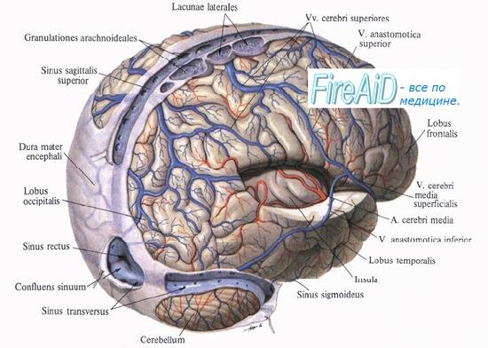 Кровоснабжение головного мозга. Миогенная, гуморальная регуляция мозгового кровотока.