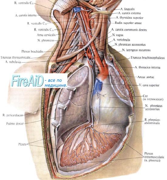 Анатомия диафрагмального нерва - N. phrenicus, раздражение которого вызывает икоту
