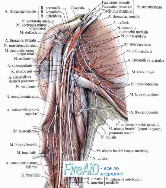 Нервы плеча