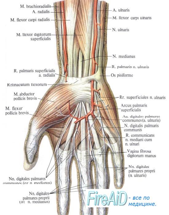 Анатомия локтевого нерва на запястье и кисти
