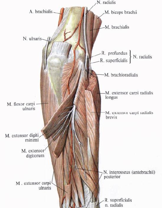 Нервы плеча и предплечья