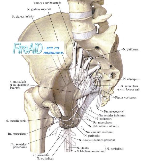 Крестцовое сплетение, plexus sacralis - иннервация таза, ануса, прямой кишки - аноректальной области