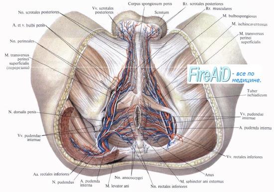 Нервы мужской промежности - иннервация