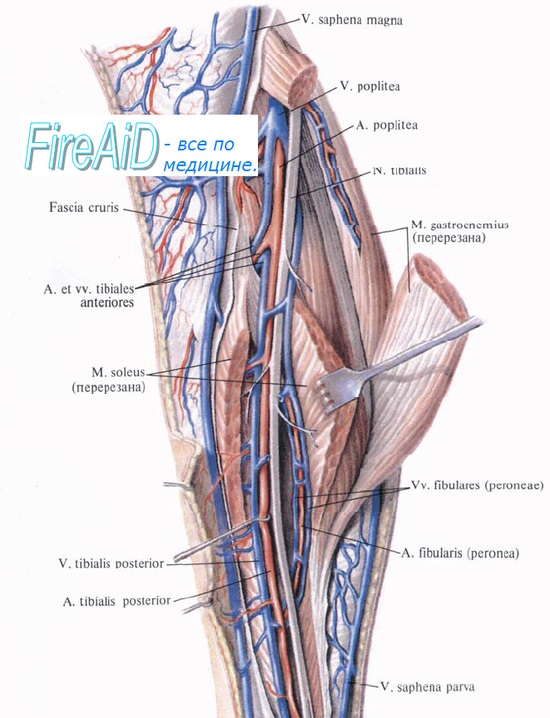 Анатомия большеберцового нерва