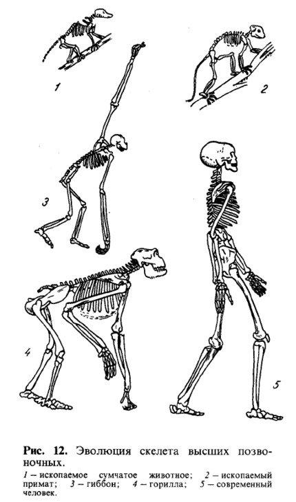 Скелет - позвоночный столб