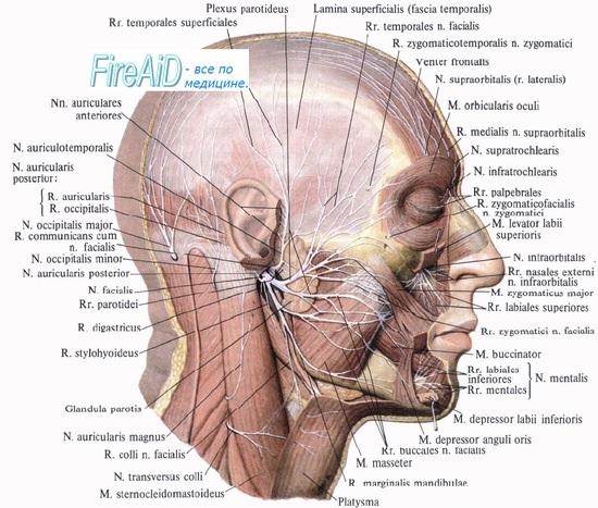 Анатомия ветвей лицевого нерва