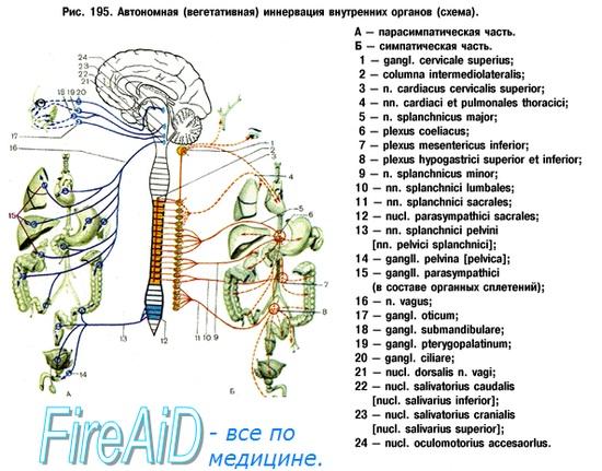 Вегетативная нервная система и сердце