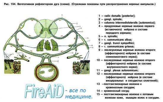 Рефлекторная дуга вегетативной