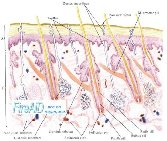 Выделительная функция кожи. Потовые и сальные железы. Секрет потовых желез. Состав пота. Секрет сальных желез.