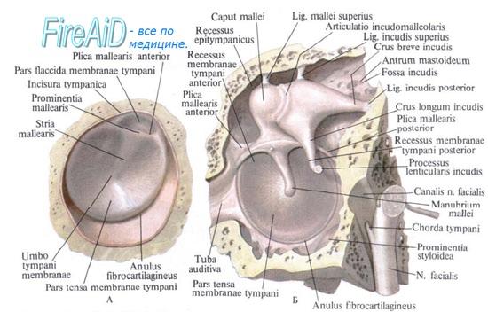 Анатомия барабанной перепонки