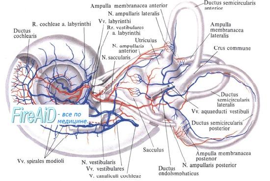 Сосуды кровоснабжающие внутреннее ухо